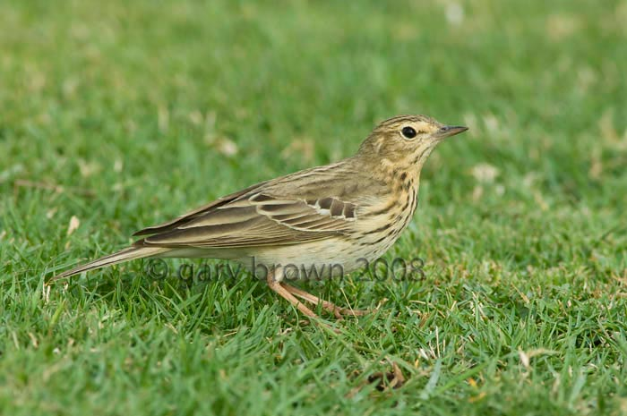 Tree Pipit Anthus trivialis on grass