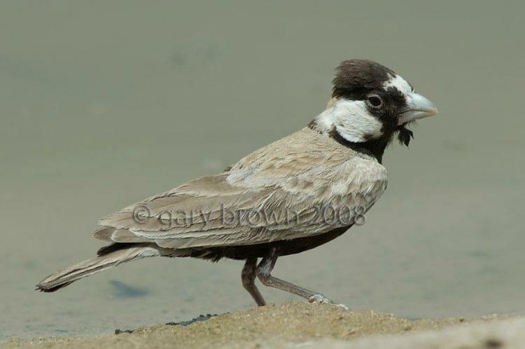 Black-crowned Sparrow-Lark Eremopterix nigriceps at water pool