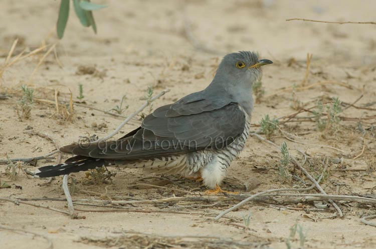 Common Cuckoo Cuculus canorus on ground