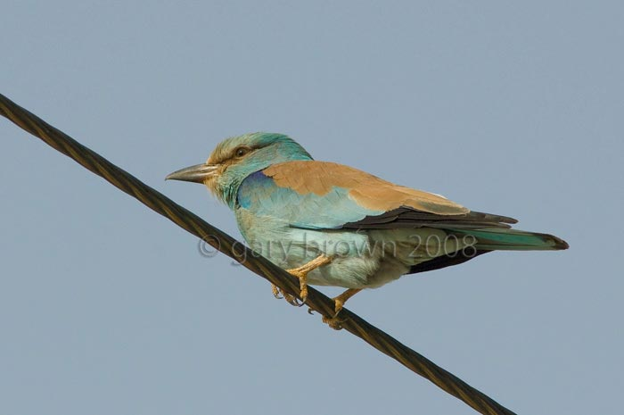 European Roller Coracias garrulus on wire