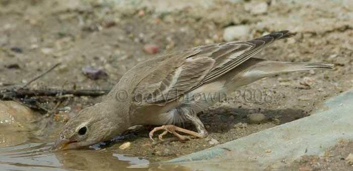 Pale Rockfinch Carpospiza brachydactyla drinking water