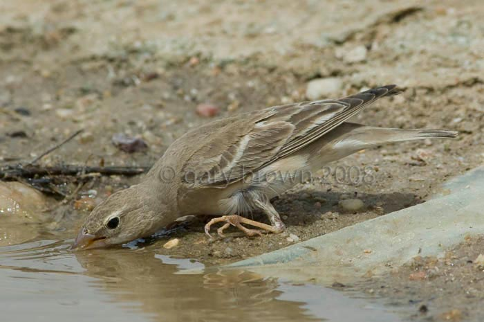 Pale Rockfinch Carpospiza brachydactyla drinking water