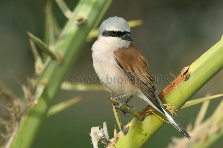 Red-backed Shrike Lanius collurio on palm tree