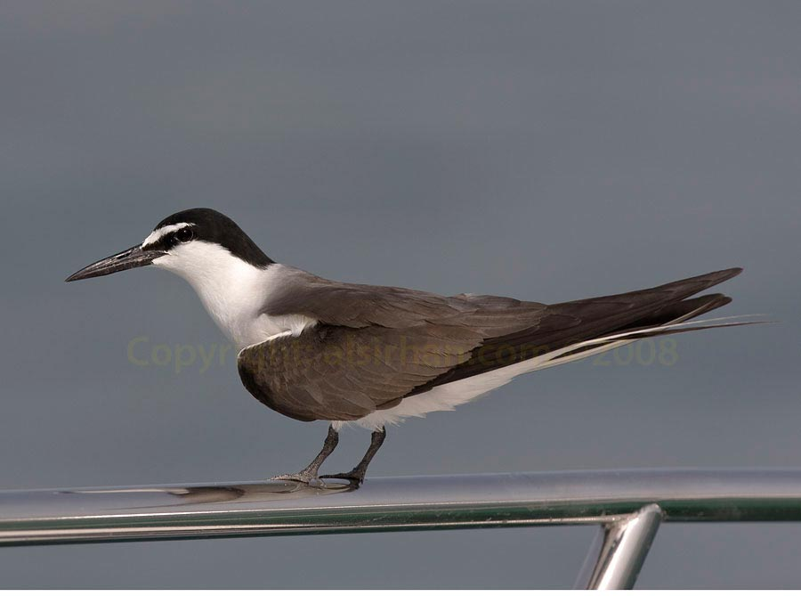Bridled Tern Onychoprion anaethetus landing on our boat