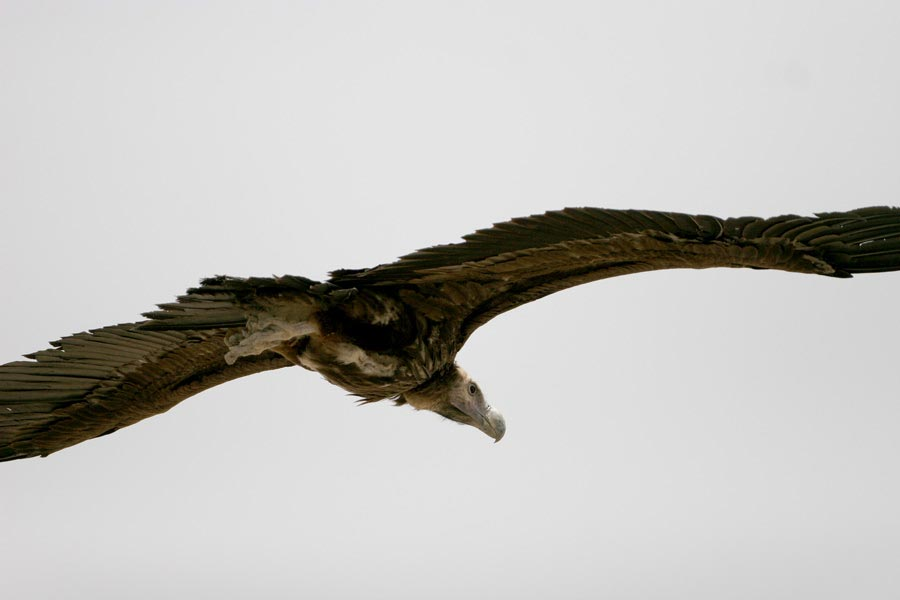 Lappet-faced Vulture Torgos trachielotos in flight from behind