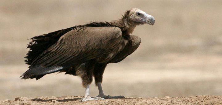 Lappet-faced Vulture standing on a mound