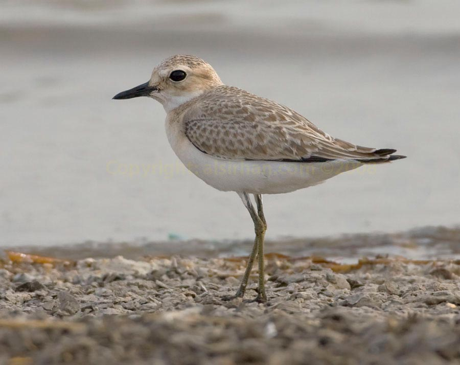 Juvenile Greater Sand Plover standing near water