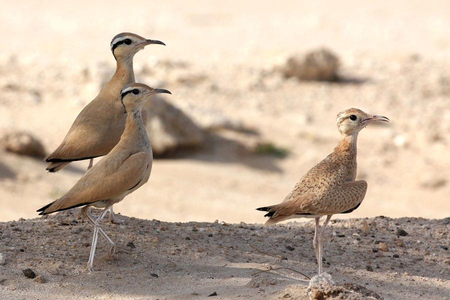 2 adults and a juvenile Cream-coloured Courser Cursorius cursor in the desert