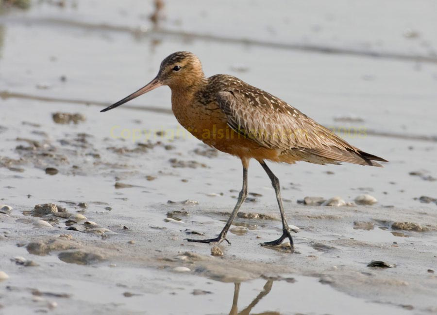 Bar-tailed Godwit Limosa lapponica walking in sea mud
