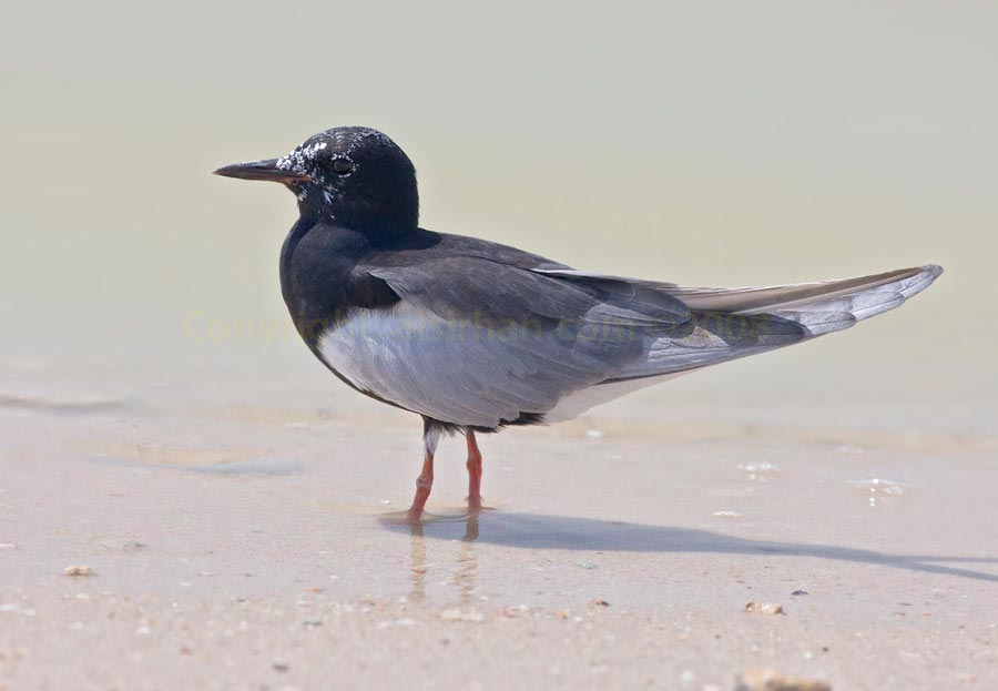 White-winged Tern standing at shoreline