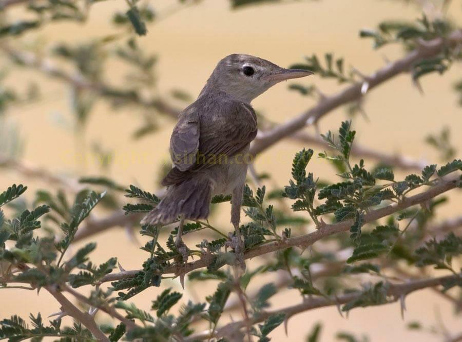 Upcher's Warbler Hippolais languida