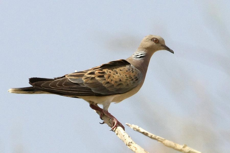 European Turtle Dove Streptopelia turtur on a branch