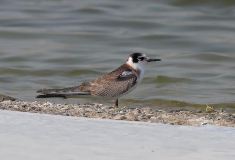 Black Tern standing near shoreline