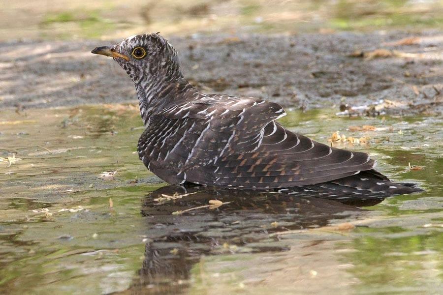 Common Cuckoo Cuculus canorus