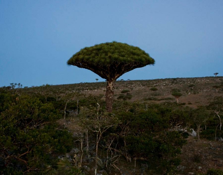 Dragon's Blood Tree Dracaena cannibari at dawn