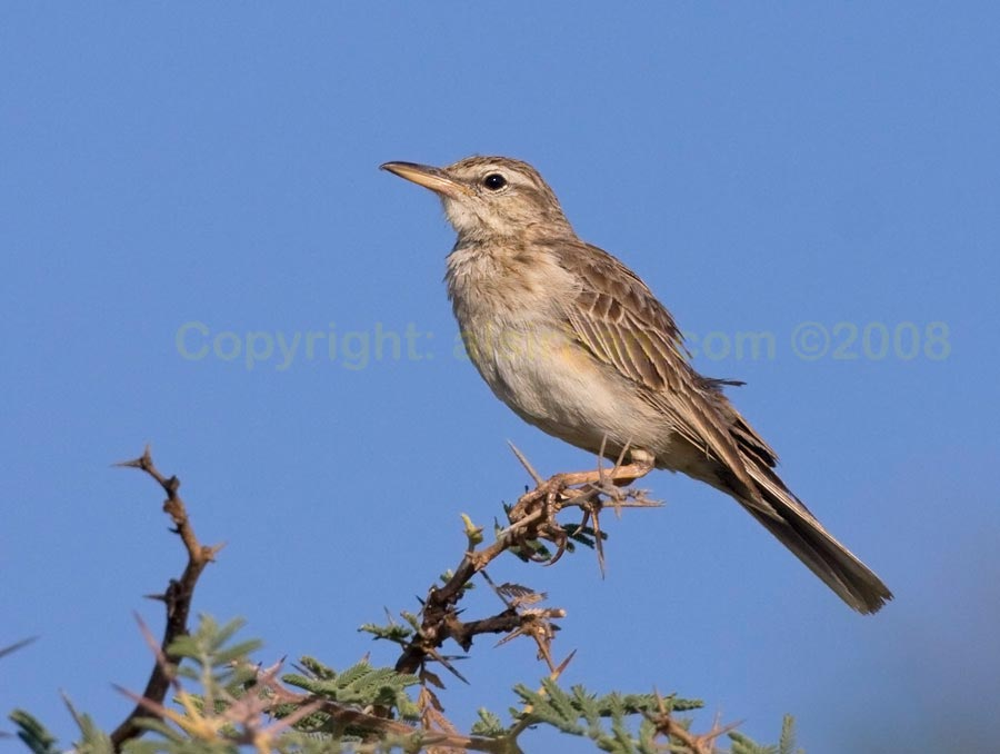 Long-billed Pipit  perching on a branch