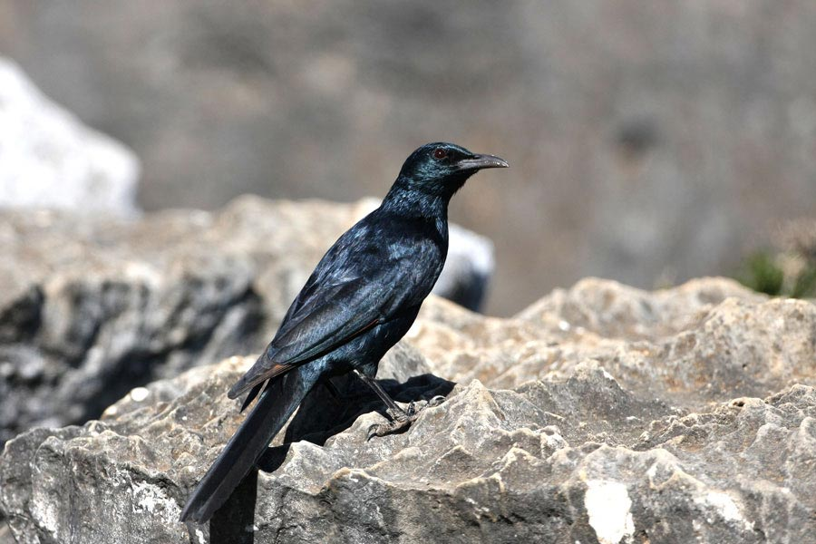Socotra Starling perching on a rock