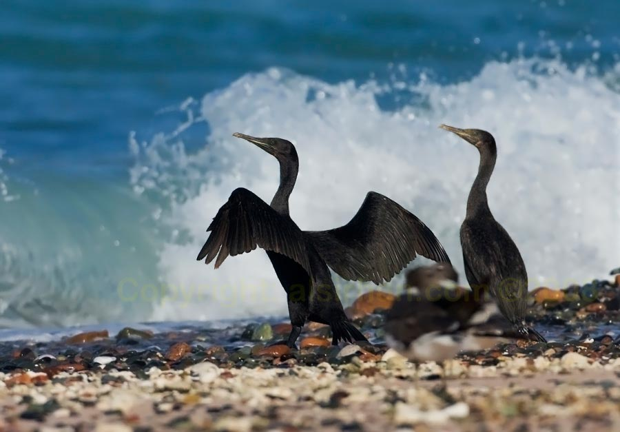 Two Socotra Cormorants standing against sea water