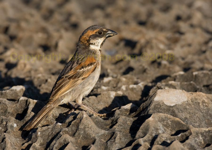 Socotra Sparrow perching on a rock