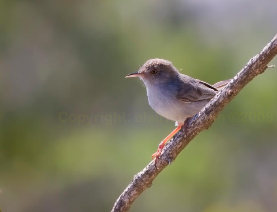 Socotra Warbler perching on a plant