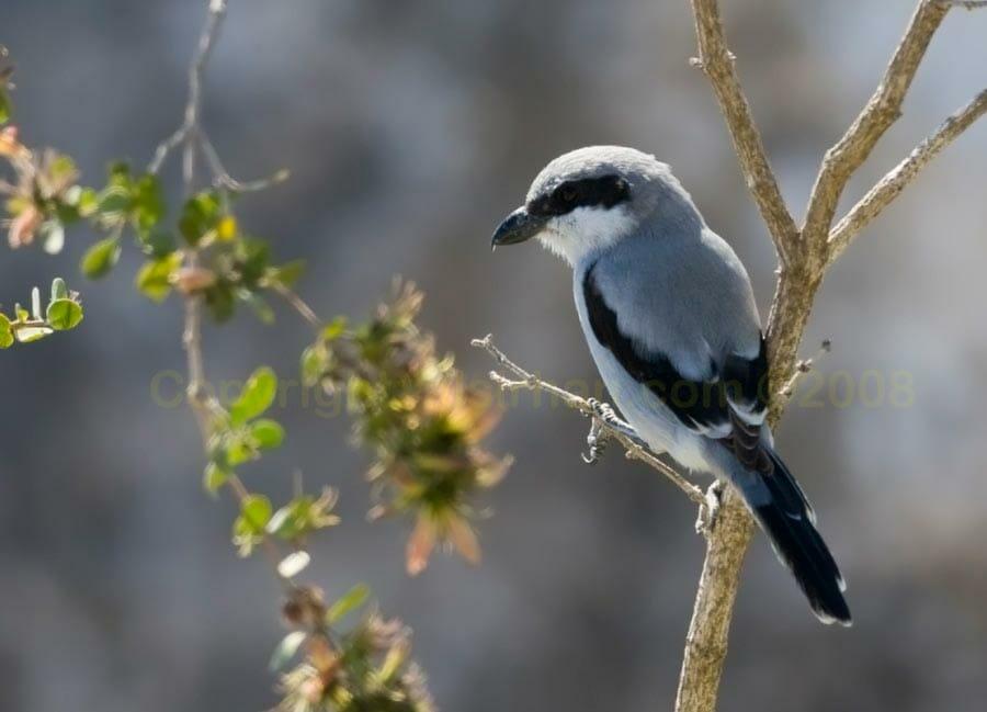 Arabian Grey Shrike perching on a branch of a tree