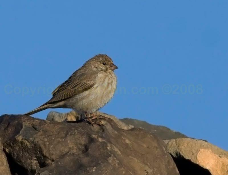 Yemen Serin on a rock