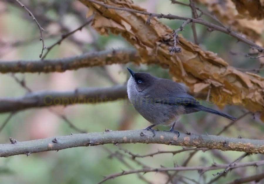 Yemen Warbler perched on a branch of a tree