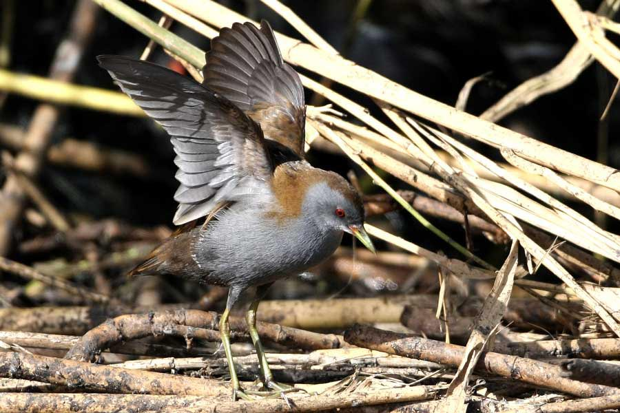 Little Crake flapping wings on ground