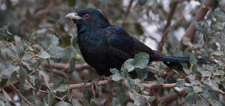 Asian Koel perched on a tree