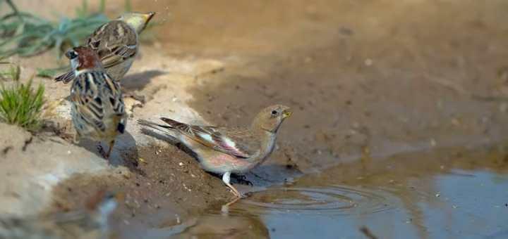 Mongolian Finch drinking water