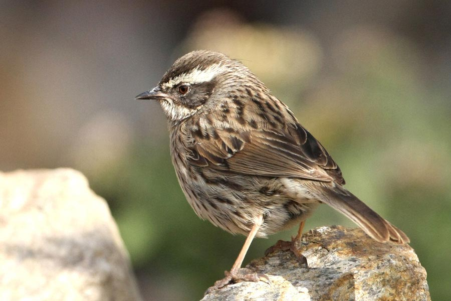 Arabian Accentor perched on a rock
