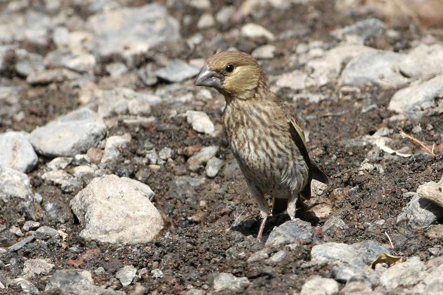 Arabian Golden-winged Grosbeak standing on the ground