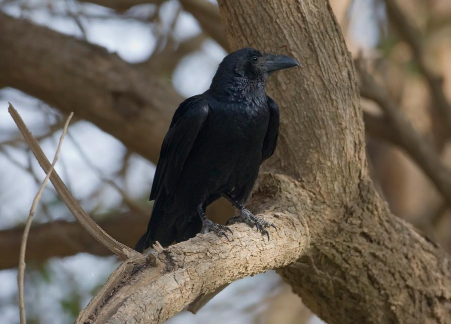 Fan-tailed Raven perched on a branch