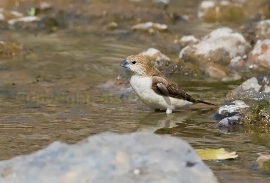 African Silverbill standing in water