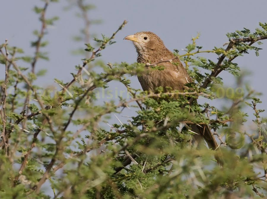 Arabian Babbler perched on a tree