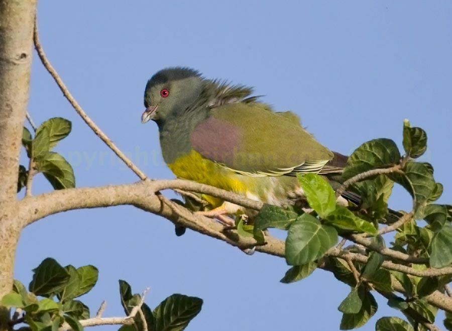 Bruce's Green Pigeon perched on a branch