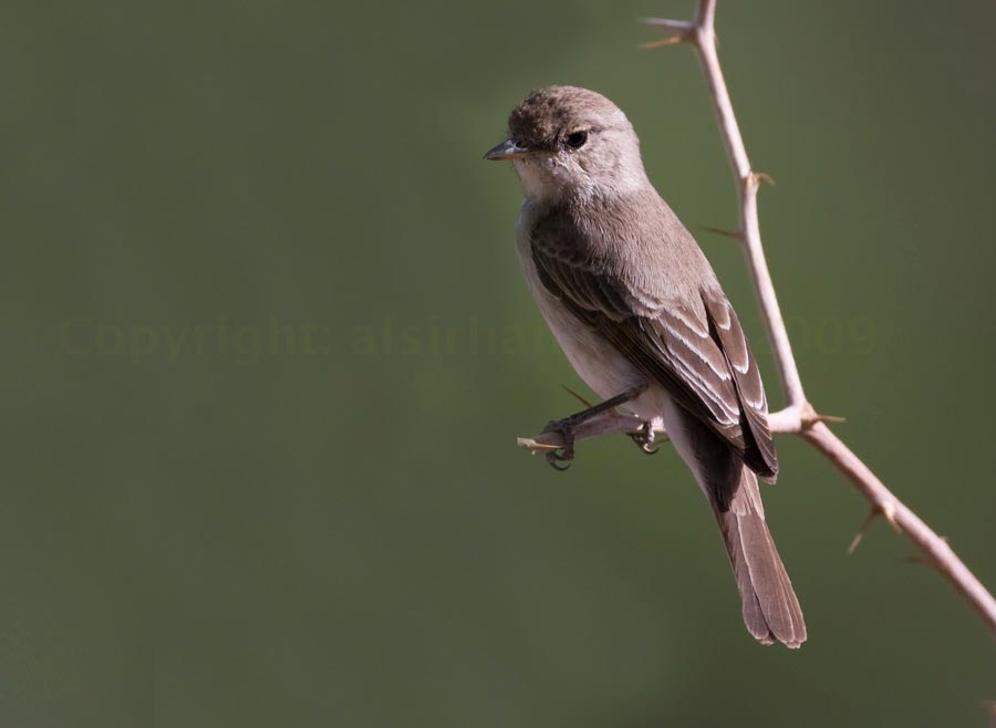 Gambaga Flycatcher perched on a branch