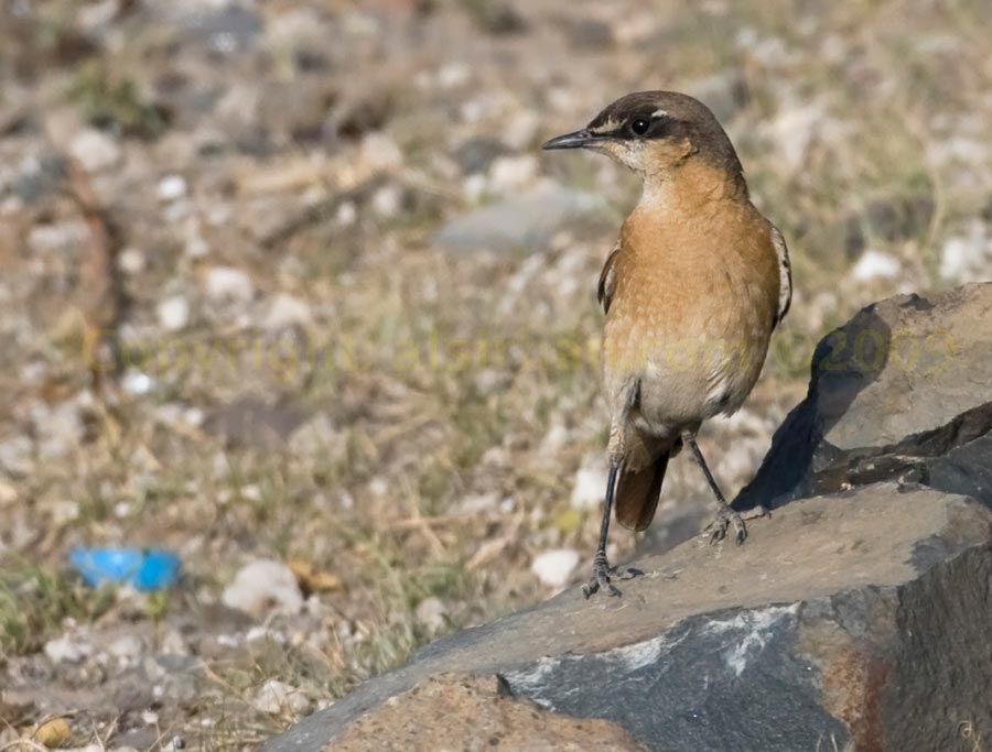 Red-breasted Wheatear perching on a rock
