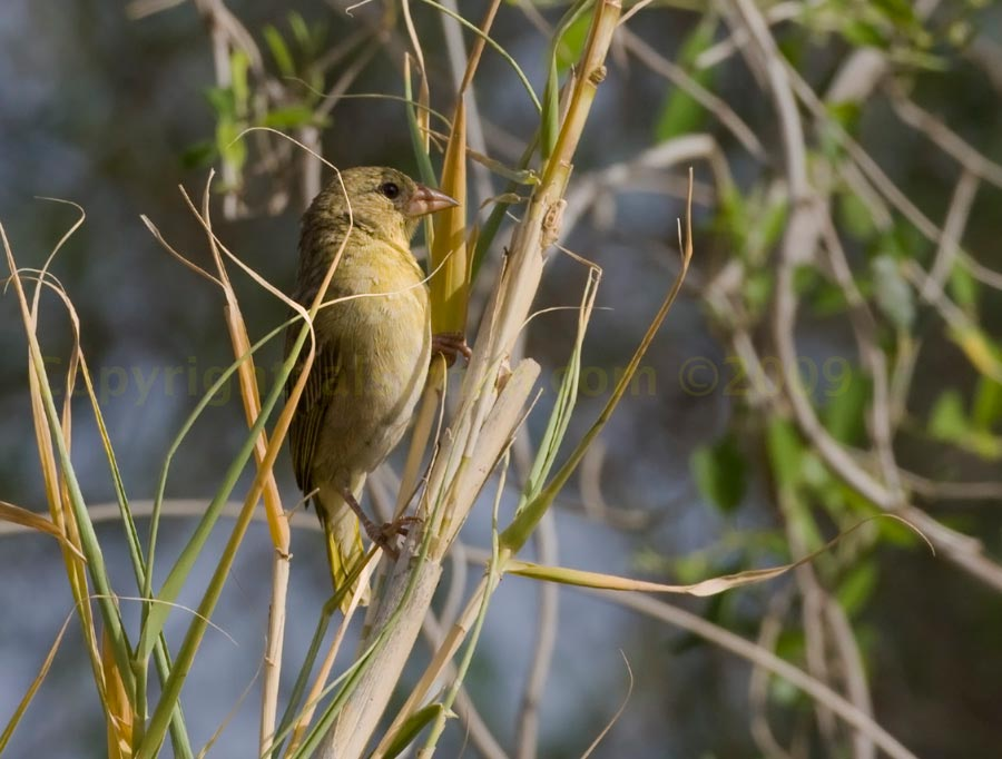 Rüppell's Weaver perched on a tree