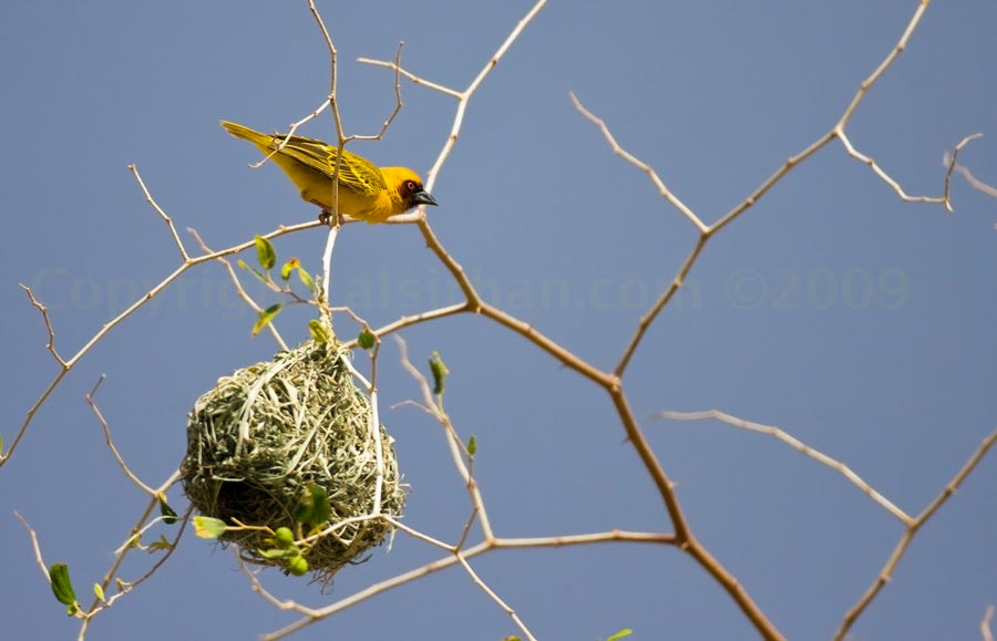 Rüppell's Weaver perched on top of its nest