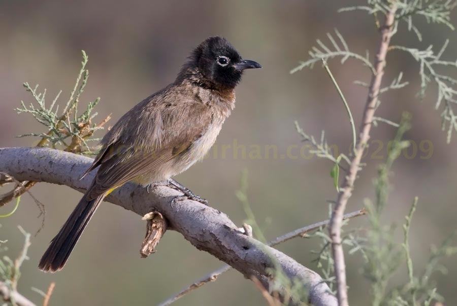 White-spectacled Bulbul perched on a branch
