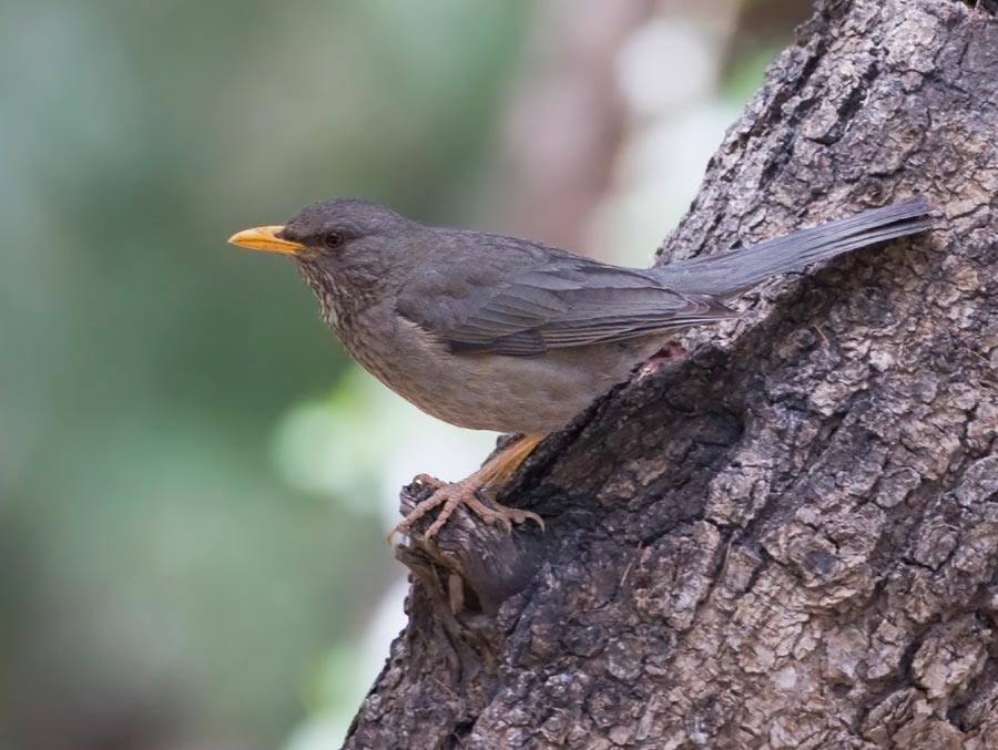 Yemen Thrush perched on a trunk