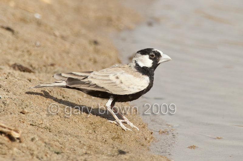 Black-crowned Sparrow-Lark standing on the ground