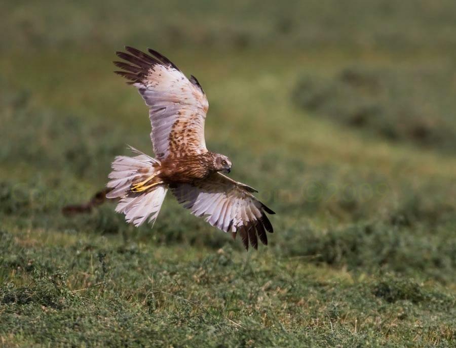 Western Marsh Harrier Circus aeruginosus