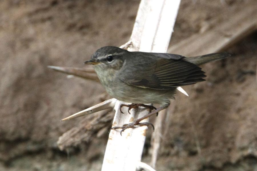 Dusky Warbler on a date palm tree leaf