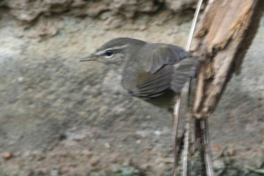 Dusky Warbler on a tree