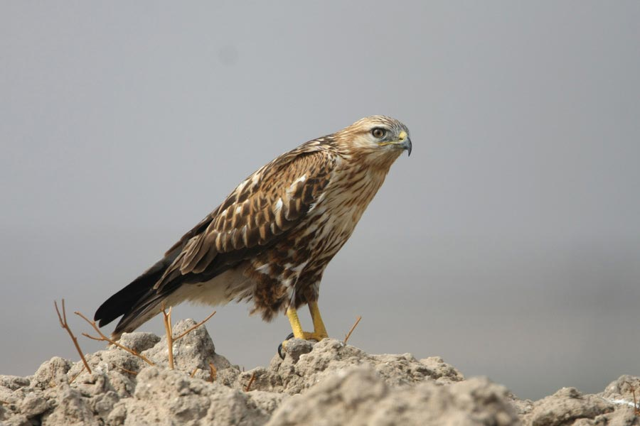 Long-legged Buzzard perching on a mound