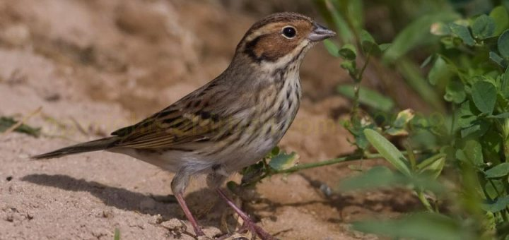 Little Bunting standing on the ground