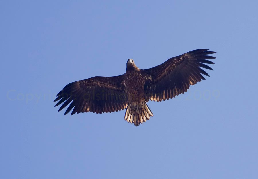 White-tailed Eagle flying overhead
