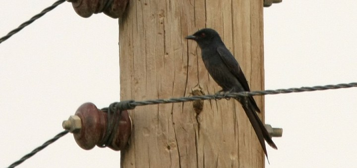 Ashy Drongo perching on electricity cable